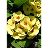 Milli Dinni Yellow Crown of Thorns Plant - Euphorbia - RARE! - 3