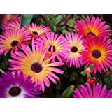 Mesembrynthemum Or Ice Flower - Flower Seeds By Kraft Seeds [PACK OF 20]