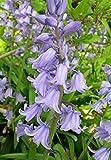 250 x Bulb Spring Flowering Collection (2) - Bluebells, Crocus, Allium, Tete a Tete & Tulips - Free UK P & P