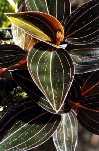 Black Jewel Orchid Plant