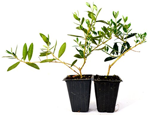 9GreenBox-Olive-Tree-Tree-of-Peace-Olea-europaea-2-Pack