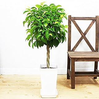 ベンジャミンはおすすめの観葉植物