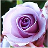 Generic 24 Colors Rose Seeds 100 Seeds/pack Four Seasons Sowing The Seeds Of Perennial Flowers, Rose Flowers Seeds...