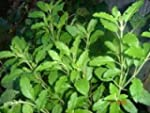 Holy Basil Organic Seeds