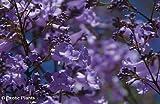 Palisanderbaum - Jacaranda mimosifolia - 10 Samen