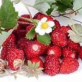 Erdbeeren Monatserdbeeren Samen