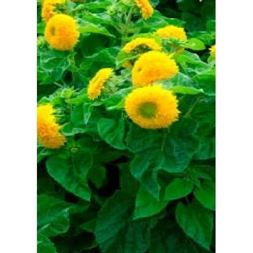 Just Seed - Flower - Sunflower Dwarf - Teddy Bear - 120 Seed
