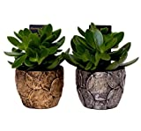 Money Tree - Crassula ovata 'Moneymaker' in a Ceramic Money Pot. Jade Plant