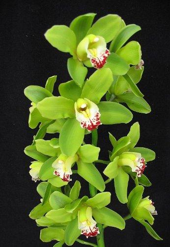 cymbidium-king-arthur-green-giant-orchid-large-seedling