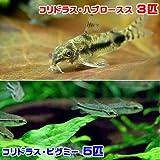 (熱帯魚)コリドラス・ハブロースス(3匹) + コリドラス・ピグミー(5匹) 本州・四国限定[生体]