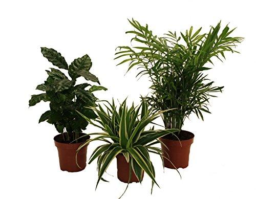 amazonde-pflanzenservice-890903-indoor-trio-kaffe-pflanze-grunlilie-und-zimmerpalme