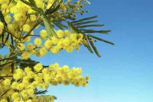 Mimosa 016, Mimosa Flowers - 60
