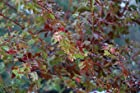 Acer Palmatum Koto Maru - Japanese Maple Tree - Pot Size #1 Gal.