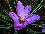 20 Jumbo Saffron Crocus Sativus Corms – Grow Your Own Saffron Spice thumbnail