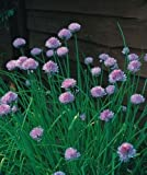 Herb - Chives Medium Leaved - Allium schoenoprasum - 1600 Seeds