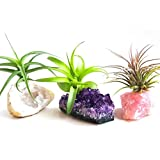 3 Pcs Tillandsia Air Plant Crystals Kit / Lot Includes Amethyst Cluster, Rose Quartz, and Crystal Geode / Terrarium Fairy Garden Stones + Kraft Gift Box
