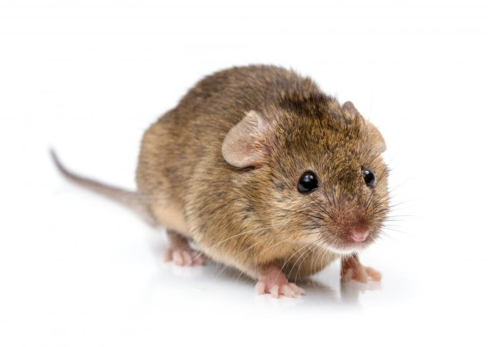 House Mouse - Mus Musculus
