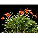 Masdevallia Southern Sun orchid, makes tangerine colored flowers