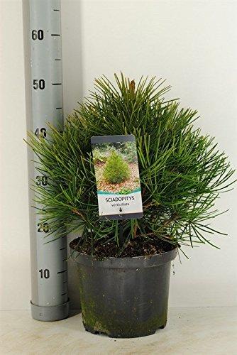Japanische Schirmtanne - Sciadopitys verticillata - Gesamthöhe: 40+cm, topf: 5 ltr.
