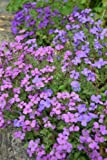 Premier Seeds Direct AUB01F Aubretia Nana Compacta Mixed Perennial Seeds (Pack of 1200)