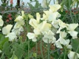 KINGS SEEDS: SWEET PEA HUNTERS MOON