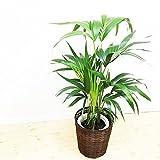 ケンチャヤシ 110cm ヤシの木 オシャレ 鉢カバー付 観葉植物 インテリア 中型 大型