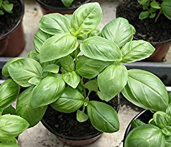 Sweet Genovese Basil Organic 100 seeds pack by Go Green