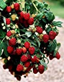 iovivo Himbeere Zefa III Herbsternte, Rubus idaeus 5er-Set