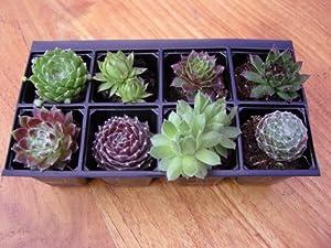 A Collection of 8 Sempervivum Plants