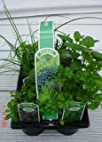 6 Pack of 9cm Mixed Herbs Plants, Parsley Sage, Rosemary Thyme Mint and Chives - 6 Varieties Per Pack