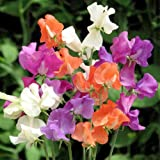 Suttons Seeds 134620 Pinata Sweet Pea Seed