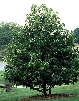 Buy Cucumber Tree 10 Seeds/Seed – Magnolia acuminata – FREE SHIPPING ON ADDITIONAL HIRTS SEEDS