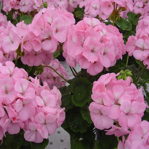Tropical Plants - Zonal Geraniums, Appleblossom