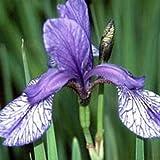 Iris sibirica 'Flight of Butterflies' 15cm Pot Size