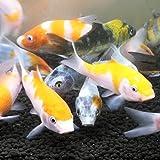 錦鯉MIX 10匹 サイズSS 約5cm~7cm 紅白 昭和三色 大正三色 光物