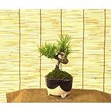 ミニ盆栽:三河黒松(信楽焼き鉢)*【得】