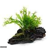 (水草)ミクロソリウム ウェンディロフ 流木 SSサイズ(1本)(約10cm) 本州・四国限定[生体]