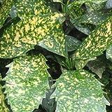 Aucuba japonica 'Variegata' - Spotted Laurel 18cm Pot Size
