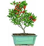 Brussel's Pyracantha Bonsai