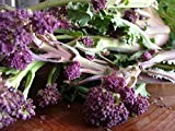 Premier Seeds Direct 5M-JCC1-JSTX Broccoli Purple Early Sprouting Finest Seeds (Pack of 2000)