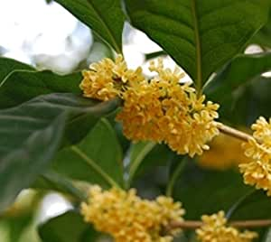 Yellow flowering fragrant tea olive for Olive plant care