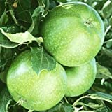 Granny Smith Apple tree 10 seeds