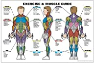 Exercise & Muscle Guide-Male 24″x36″