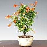 小品盆栽:花ざくろ(瀬戸焼鉢)*