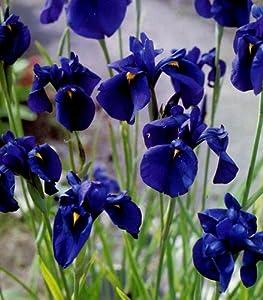 Gardenhouse iris kaempferi 3 x plugs japanese water iris for Japanese water plants