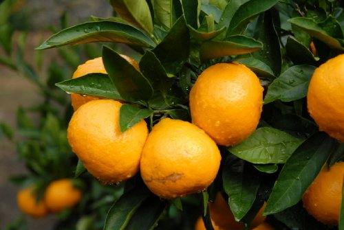 Tangerine Mandarin Citrus Fruit Tree Seeds