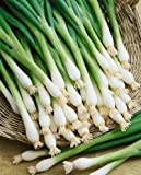 Tokyo Long White Bunching Onion Seeds - Allium Cepa - 1 Grams - Approx 450 Gardening Seeds - Vegetable Garden Seed