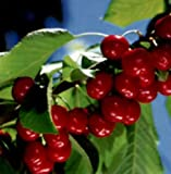 1 x Stella Cherry Tree Approximately 7ft tall - BARE ROOT FRUIT TREE - Available Now - Fast Delivery