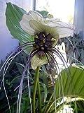 "Rare White Bat Plant - Tacca integrifolia - Exotic Houseplant - 4"" Pot"