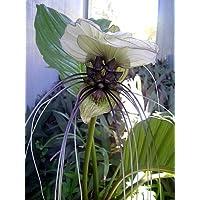 Rare White Bat Plant - Tacca integrifolia - Exotic Houseplant - 4